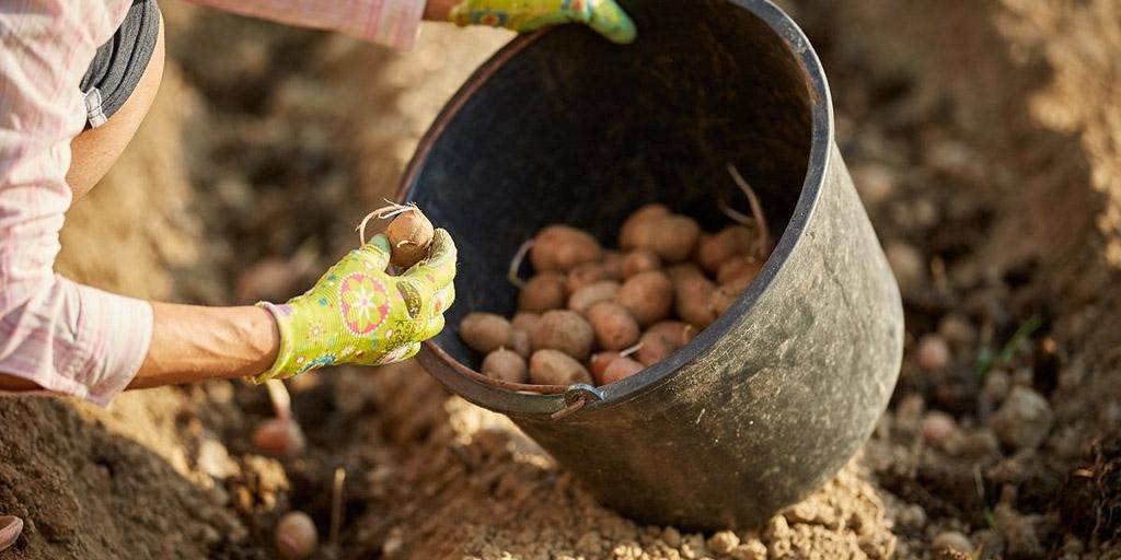 Картофель в ведре