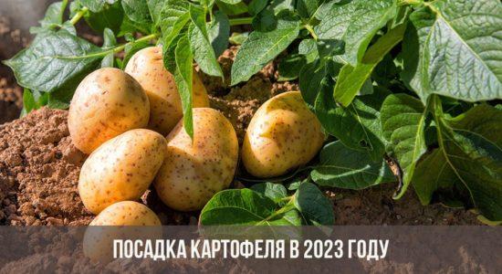 Посадка картофеля в 2023 году