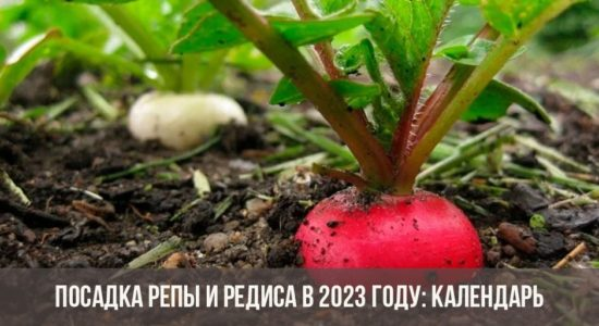 Посадка репы и редиса в 2023 году: календарь