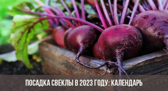 Посадка свеклы в 2023 году: календарь